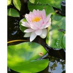 Картина за рисуване по номера - Водната лилия - символ на спокойствие
